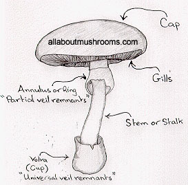 mushroom body structure mushroom lifecycle information about rh allaboutmushrooms com scientific diagram of a mushroom diagram of mushroom parts